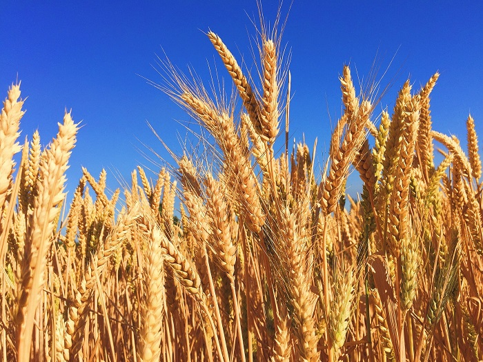 Pšenica je veľmi obľúbená